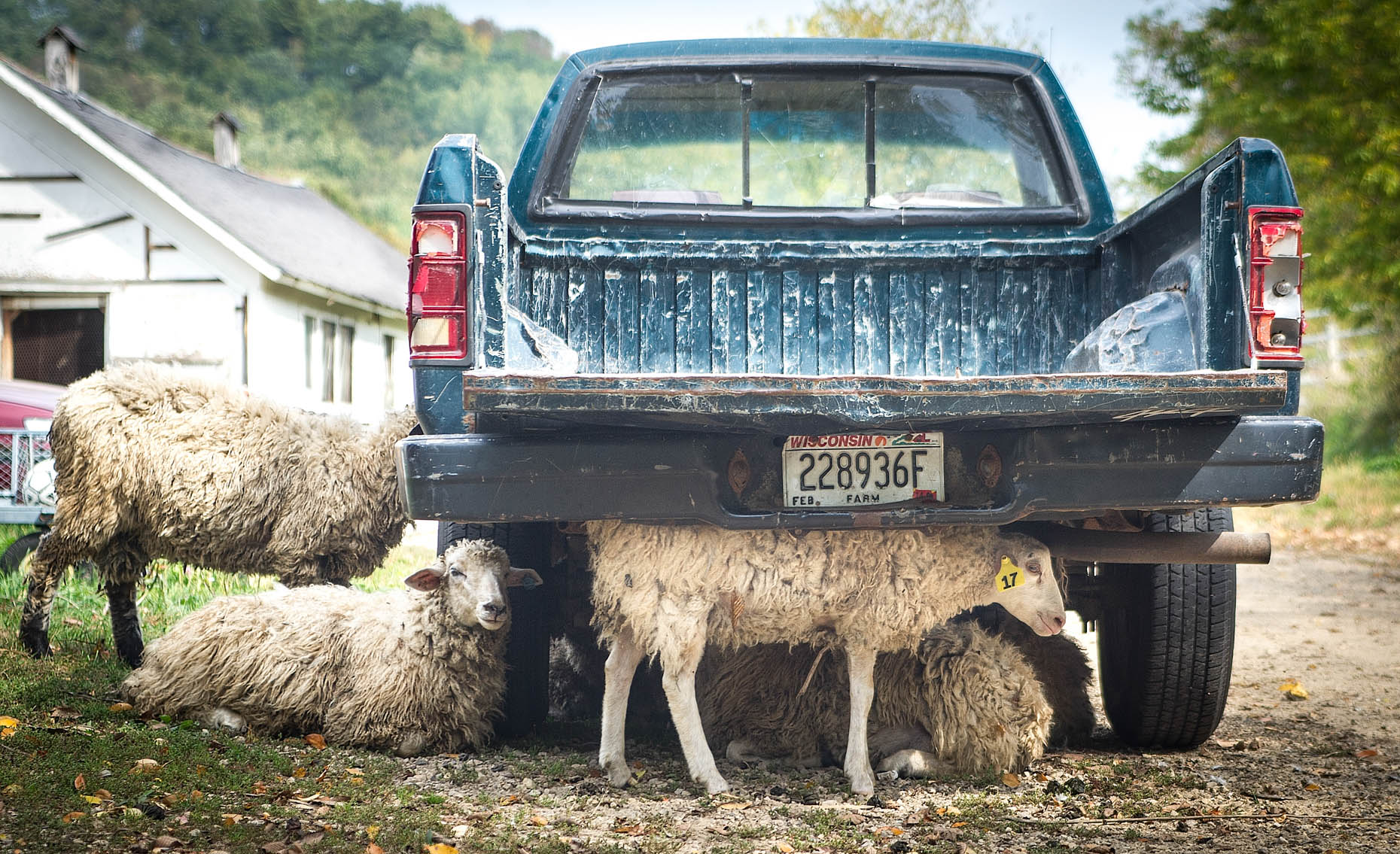 Sheep and Truck
